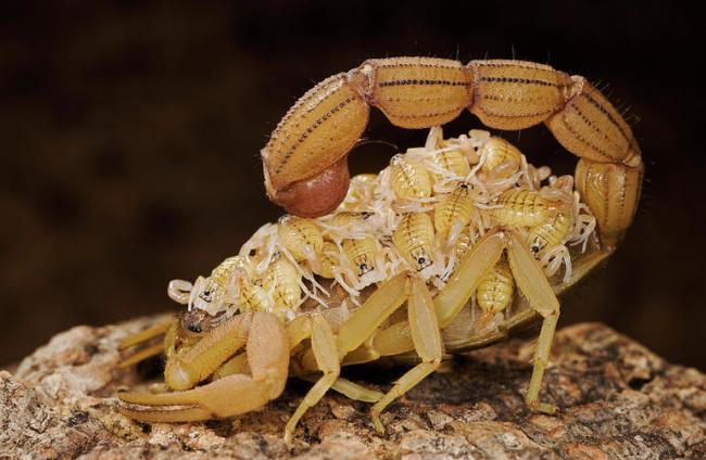 skorpion_detenyshami.jpg