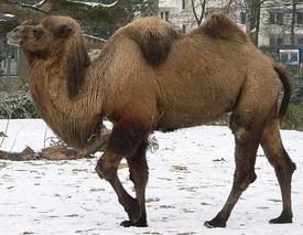 275px-Camel_seitlich_trabend.jpg