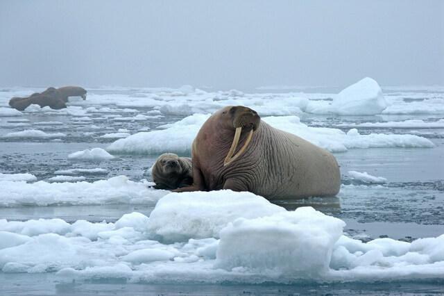 zhivotnye-severnogo-ledovitogo-okeana.jpg