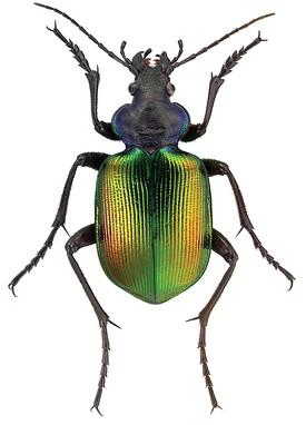 275px-Calosoma_sycophanta_L._-_ZooKeys-245-001-g009.jpeg