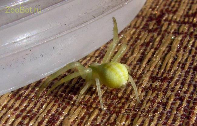 yello_spider3.jpg
