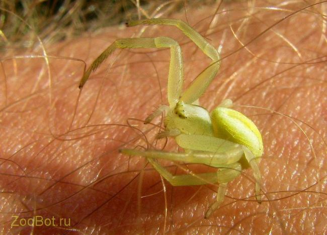 yello_spider5.jpg