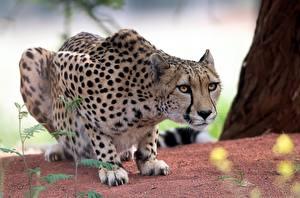 Cheetahs_Glance_589461_600x397.jpg