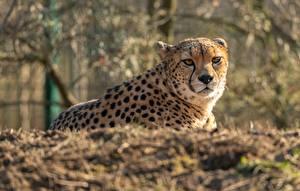 Cheetahs_Lying_down_Glance_Bokeh_585959_600x382.jpg