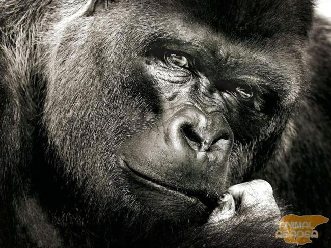 gorilla-samaja-bolshaja-obezjana-na-zemle_1.jpg