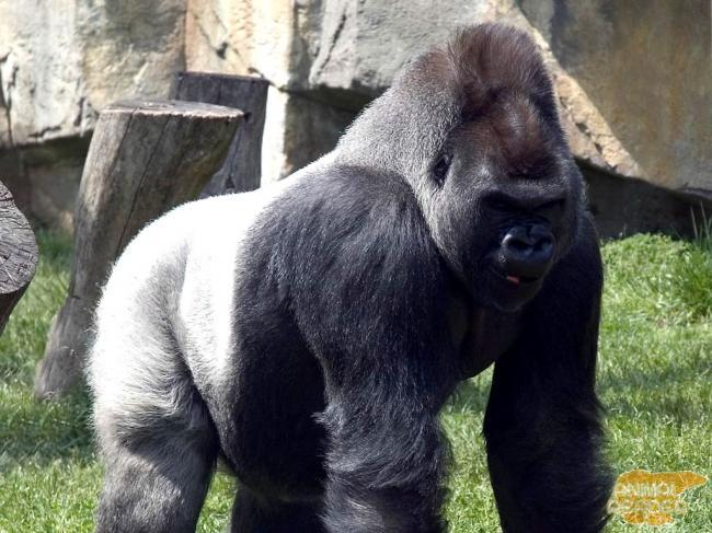 gorilla-samaja-bolshaja-obezjana-na-zemle_2_1.jpg
