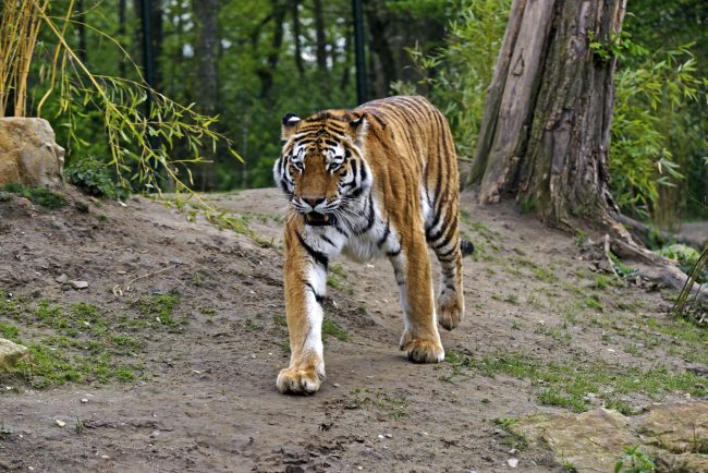kartinki-amurskij-tigr-1-650x434.jpg
