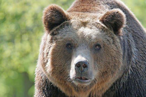 Бурый-медведь.jpg