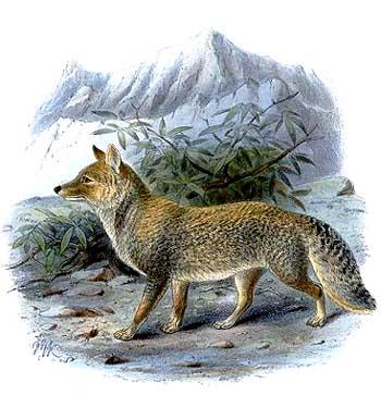 тибетская-лисица.jpg