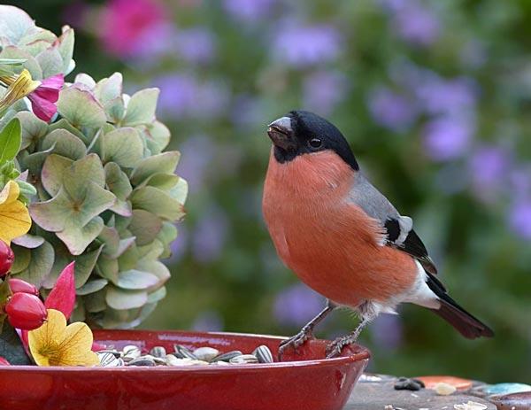 doklad-snegir-opisanie-pticzyi-dlya-detej-1-2-3-7-klassa.jpg