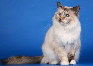 sacred-birman-cat-1.jpg