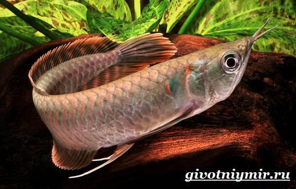 arovana-ryba-opisanie-osobennosti-soderzhanie-i-cena-arovana-3.jpg