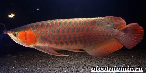 arovana-ryba-opisanie-osobennosti-soderzhanie-i-cena-arovana-4.jpg