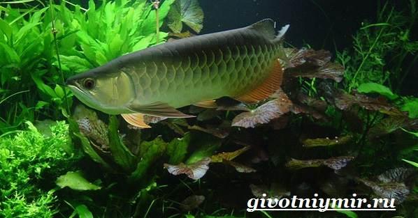 arovana-ryba-opisanie-osobennosti-soderzhanie-i-cena-arovana-6.jpg