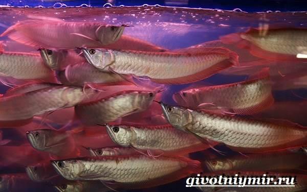 arovana-ryba-opisanie-osobennosti-soderzhanie-i-cena-arovana-14.jpg