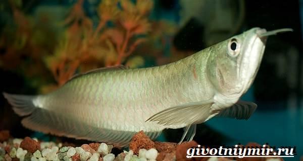 arovana-ryba-opisanie-osobennosti-soderzhanie-i-cena-arovana-8.jpg