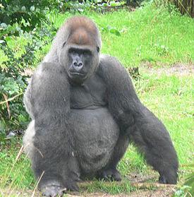 275px-Male_silverback_Gorilla.JPG