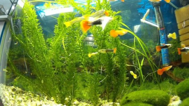 akvariumnoe-rastenie-elodeya-kak-soderzhat-i-uhazhivat-5.jpg