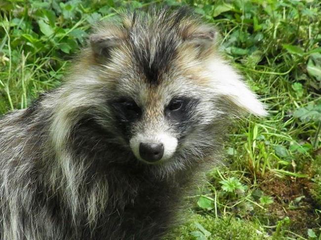 raccoon-dog.jpg