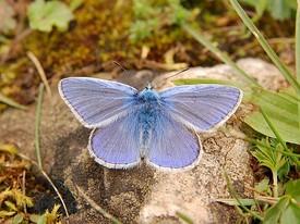 275px-Butterfly_Luc_Viatour.JPG