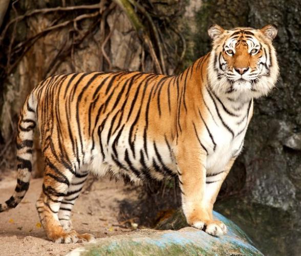 tigr1.jpg