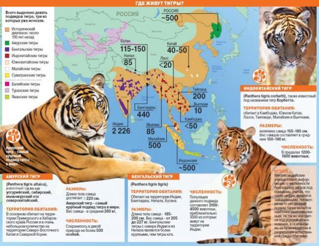 tigr2.jpg