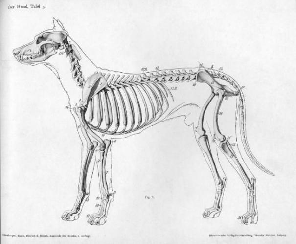 anatomiya_sobaki-5-e1565531052118.jpg