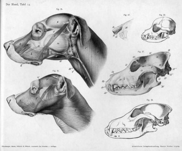 anatomiya_sobaki-2-e1565531069780.jpg