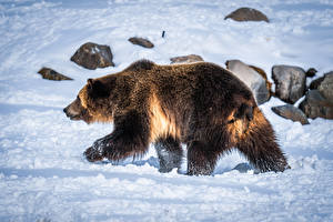 Brown_Bears_Snow_602893_600x400.jpg