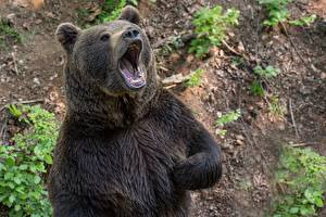 Brown_Bears_Roar_602484_600x400.jpg