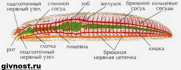 dozhdevoj-cherv-obraz-zhizni-i-sreda-obitaniya-dozhdevogo-chervya-5.jpg