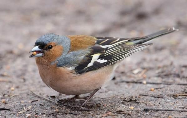 zyablik-ptica-opisanie-osobennosti-obraz-zhizni-i-sreda-obitaniya-zyablika-1.jpg