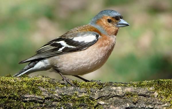 zyablik-ptica-opisanie-osobennosti-obraz-zhizni-i-sreda-obitaniya-zyablika-3.jpg