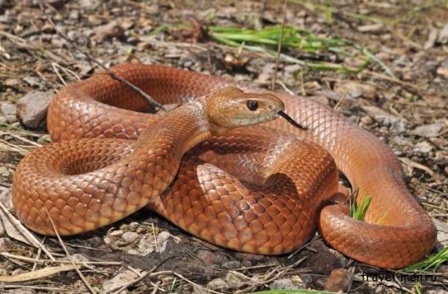 Сетчатая-коричневая-змея.jpg
