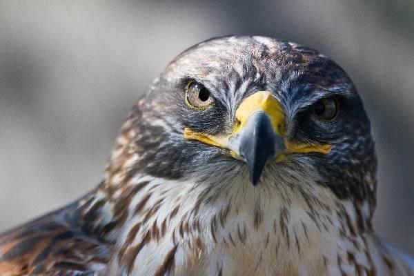 sokol-ptica-opisanie-osobennosti-vidy-obraz-zhizni-i-sreda-obitaniya-sokola-2.jpg