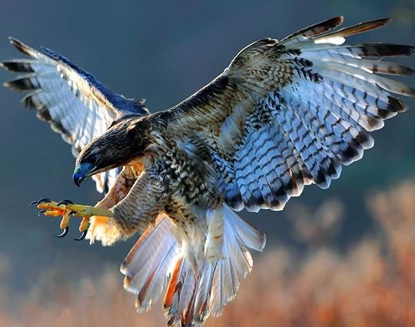 sokol-ptica-opisanie-osobennosti-vidy-obraz-zhizni-i-sreda-obitaniya-sokola-1.jpg