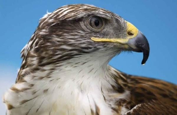 sokol-ptica-opisanie-osobennosti-vidy-obraz-zhizni-i-sreda-obitaniya-sokola-3.jpg