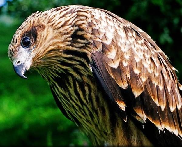 sokol-ptica-opisanie-osobennosti-vidy-obraz-zhizni-i-sreda-obitaniya-sokola-5.jpg