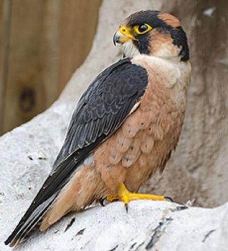 sokol-ptica-opisanie-osobennosti-vidy-obraz-zhizni-i-sreda-obitaniya-sokola-6.jpg