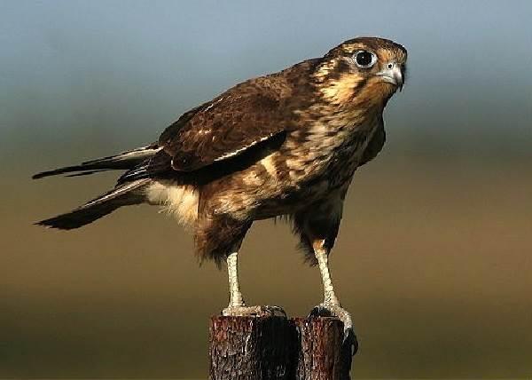 sokol-ptica-opisanie-osobennosti-vidy-obraz-zhizni-i-sreda-obitaniya-sokola-7.jpg