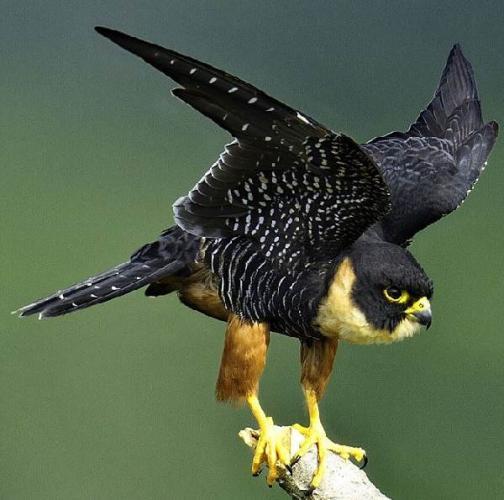 sokol-ptica-opisanie-osobennosti-vidy-obraz-zhizni-i-sreda-obitaniya-sokola-8.jpg