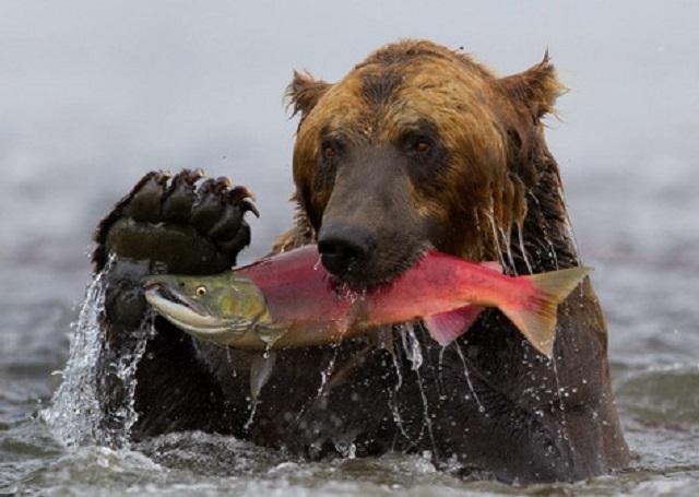 нерка-и-медведь.jpg