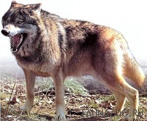 Лесной-волк-300x248.jpg