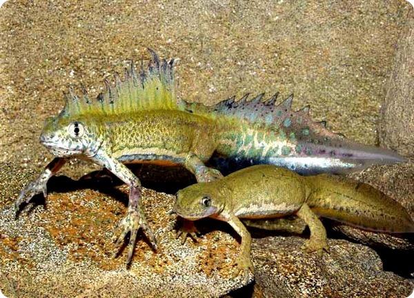 triturus-vittatus-ophryticus-1540.jpg