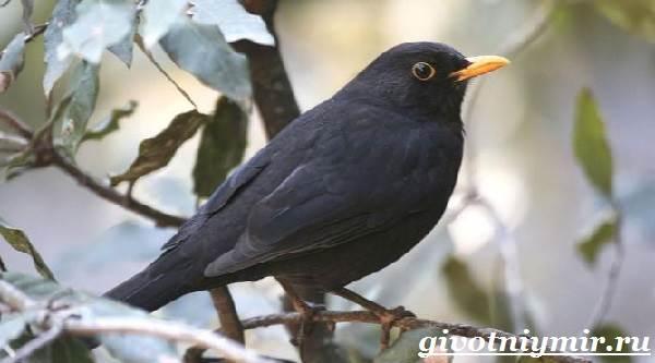 drozd-ptica-obraz-zhizni-i-sreda-obitaniya-drozda-3.jpg