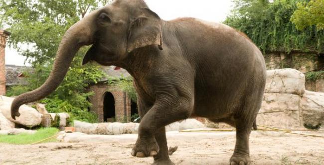 Chem-otlichajutsja-indijskij-i-afrikanskij-slon0.jpg