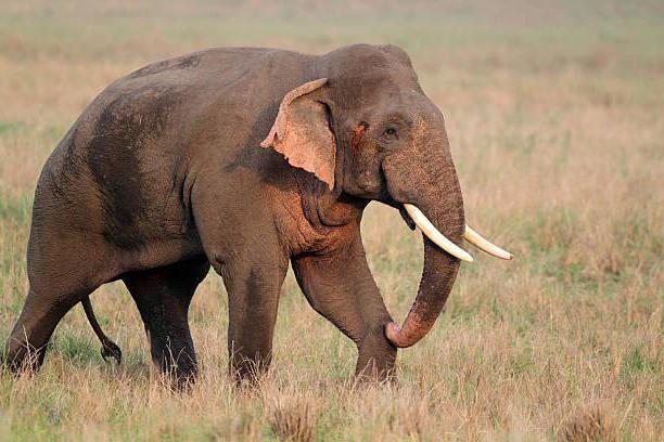 Chem-otlichajutsja-indijskij-i-afrikanskij-slon1.jpg