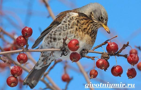drozd-ptica-obraz-zhizni-i-sreda-obitaniya-drozda-5.jpg