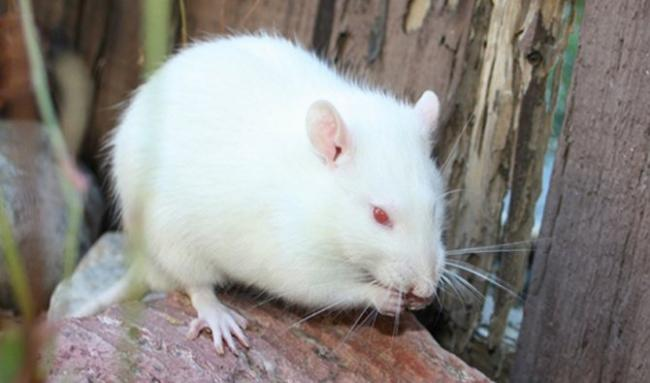 krysa-albinos2.jpg