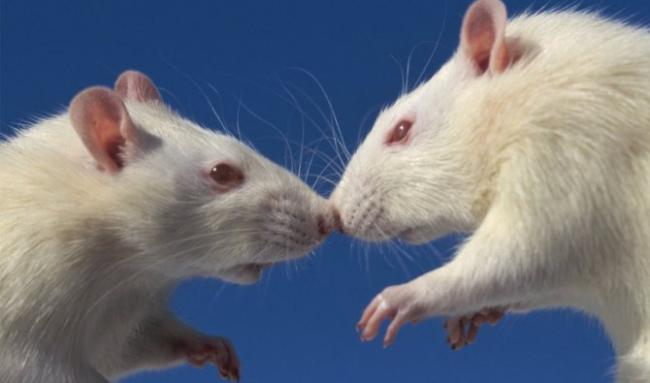 krysa-albinos3.jpg